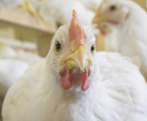 خرید کن مرغ گوشتی