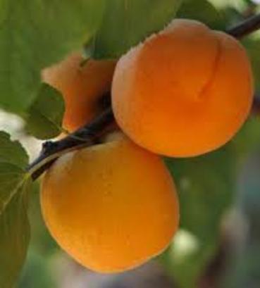خرید کن میوه های هسته دار