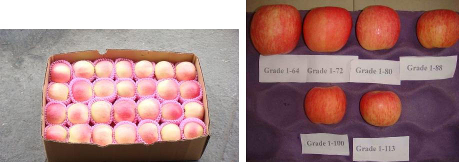 خرید کن سیب ممتاز درجه یک ایران