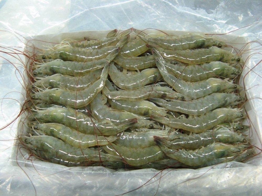 فروش  Shrimp