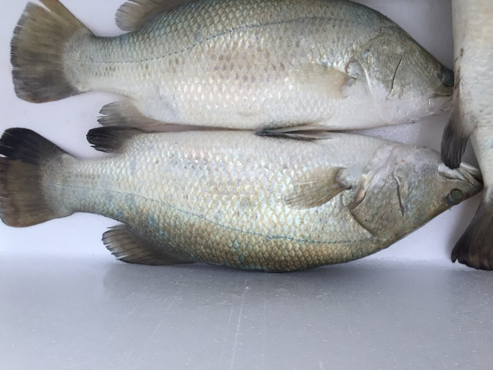 فروش  Sea bass