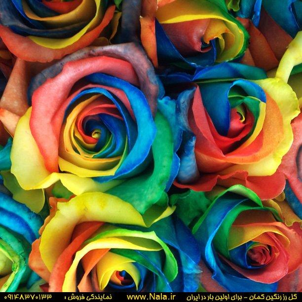خرید کن گل رز رنگین کمان