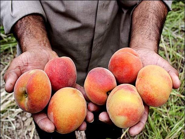 Buy Peaches