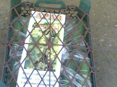خیار گلخانه ای