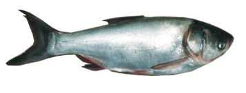 خرید کن کپور نقره ای ماهی فیتوفاگ - آزاد پرورشی SILVER CARP