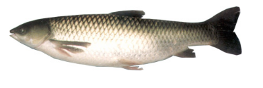 خرید کن ماهی آمور یا سفید پرورشی GRASS CARP