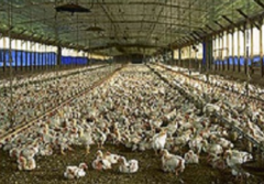 Ventilating for integrated poultry farms equipment