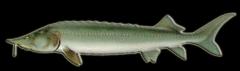 ماهی و خــاویــار آسـتـرا (تاس ماهی)