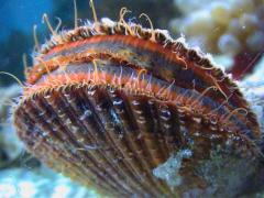 میگو -ماهی-صف اسکالوپ-خیار دریایی هولوتوریا اسکبرا