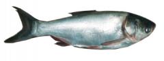 کپور نقره ای ماهی فیتوفاگ - آزاد پرورشی SILVER