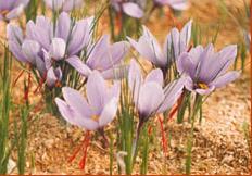 Bulk , Saffron pached
