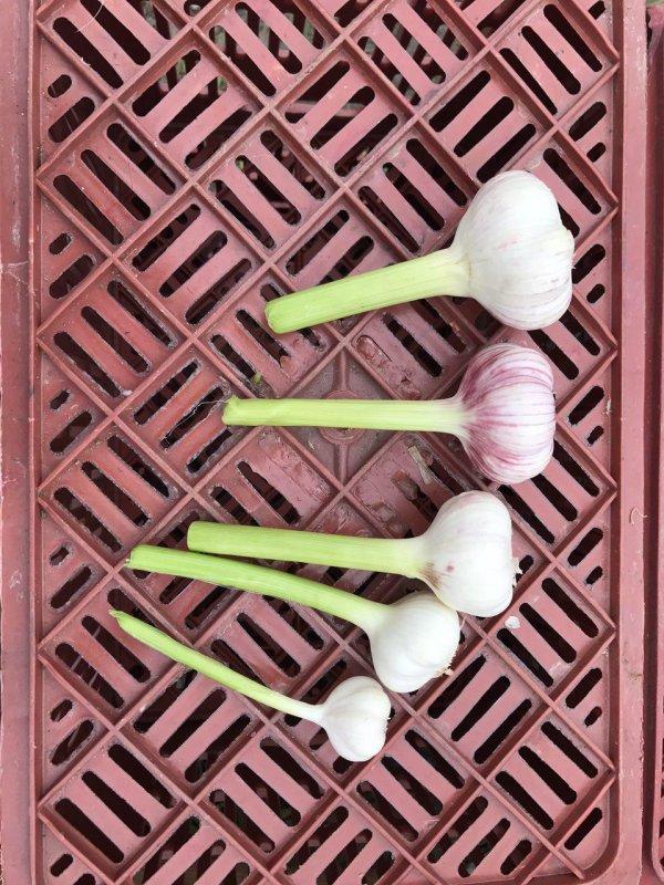 fresh_garlic