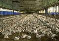 گرماتاب در مرغداری ها