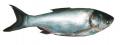 کپور نقره ای ماهی فیتوفاگ - آزاد پرورشی SILVER CARP