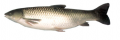 ماهی آمور یا سفید پرورشی  GRASS CARP