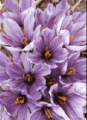 زعفران پوشال