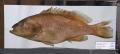 ماهی هامور خال