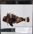 گزنده ماهی